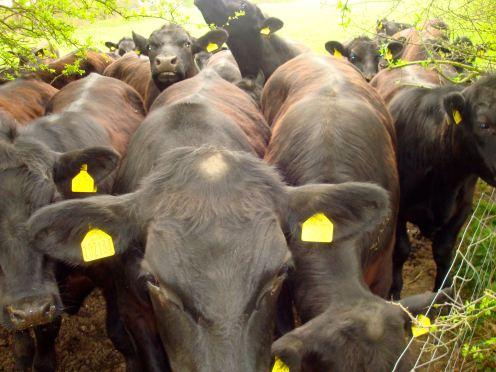 scarier cows